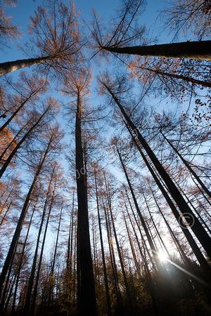 Woodland Autumn Dawn original