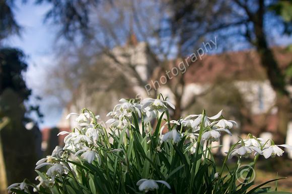 Boxgrove Churchyard Snowdrops Original