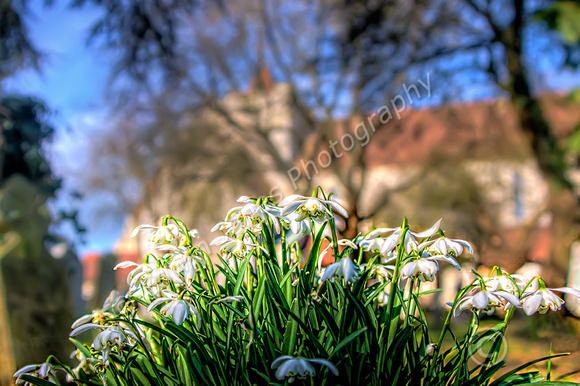 Boxgrove Churchyard Snowdrops