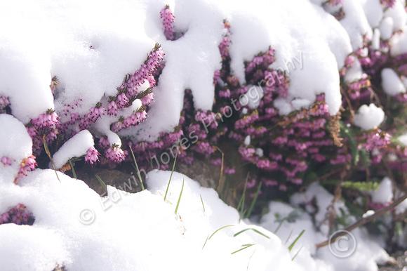Blanket of Winter Over Spring Original