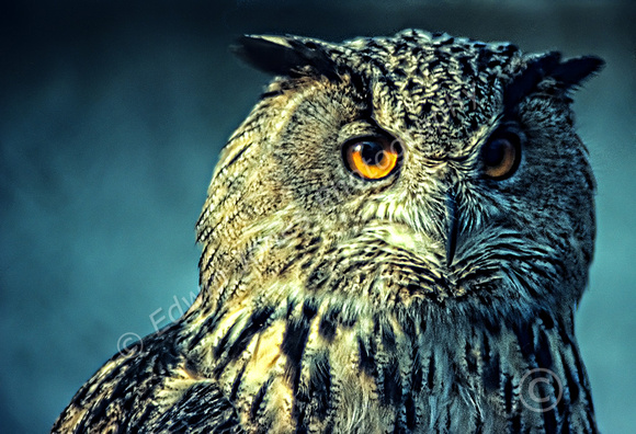 Owl Penetrating Eyes Final