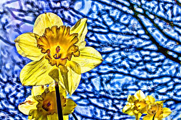 Slindon Village Daffodils Final