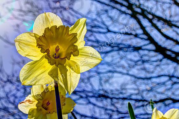 Slindon Village Daffodils Tonemapped