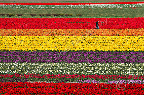 Dutch Tulips Rainbow Lines Final