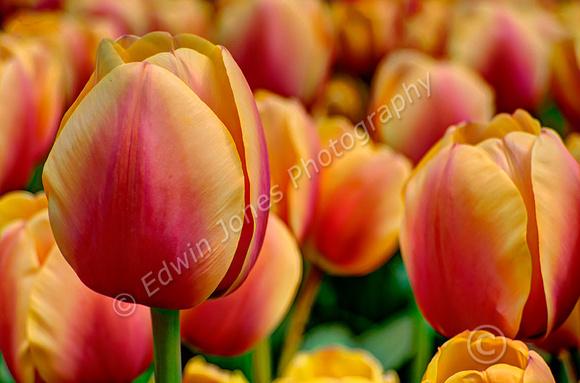 Tulip Gardens Holland HDR Tonemapped