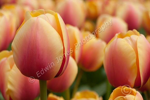 Tulip Gardens Holland HDR Original