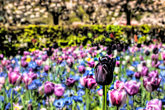 Black Sheep of the Tulips Final