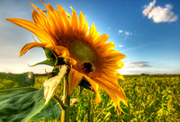 Pagham Sunflower HDR