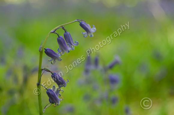Woodland Bluebell Angmering Original