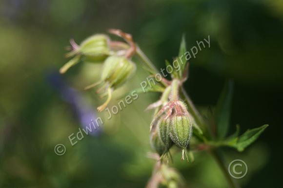 Wild Flower Buds Focus Stacked Original