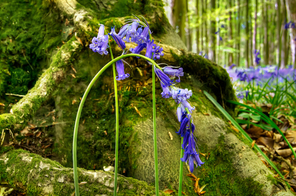 Bluebells Root Angmering