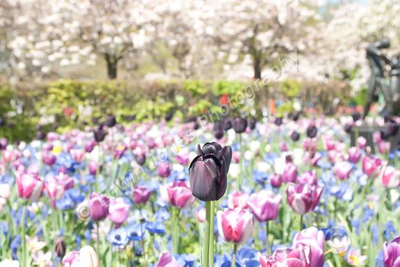 Black Sheep of the Tulips Medium