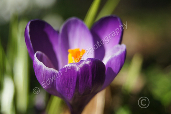 February Spring Crocus Bloom Original