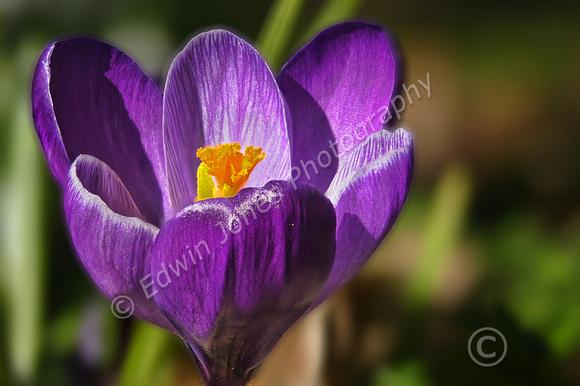 February Spring Crocus Bloom Final