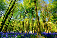 Bluebell Woods Angmering